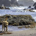 dog on beach, little river, mendocino ca beaches